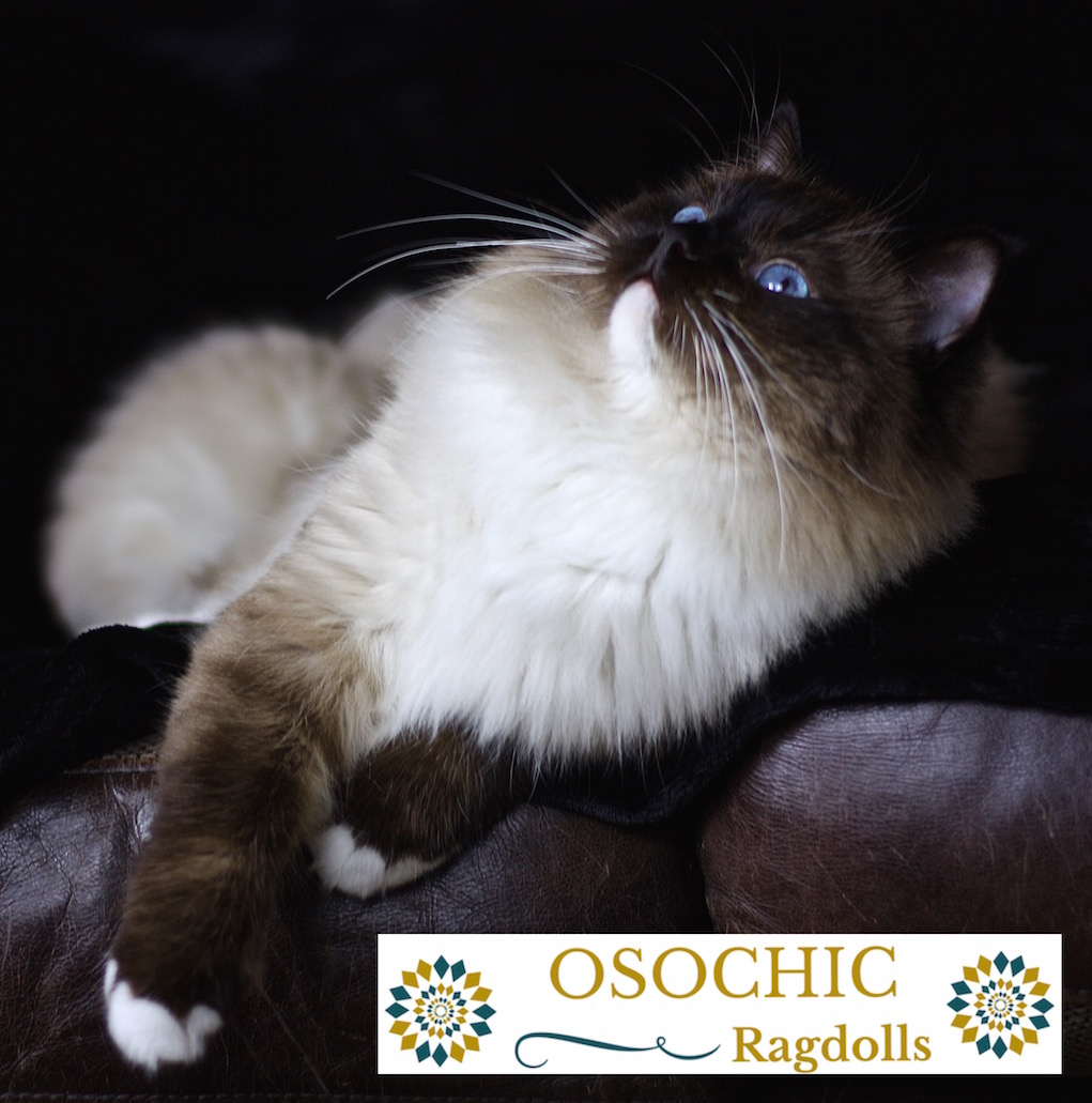 OsoChic Ragdolls. Imperial Grand Champion -  Marley. osochicragdolls.co.uk