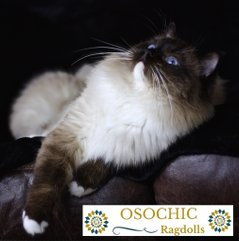 Ragdoll kittens in devon. Osochic Ragdolls. osochicragdolls.co.uk