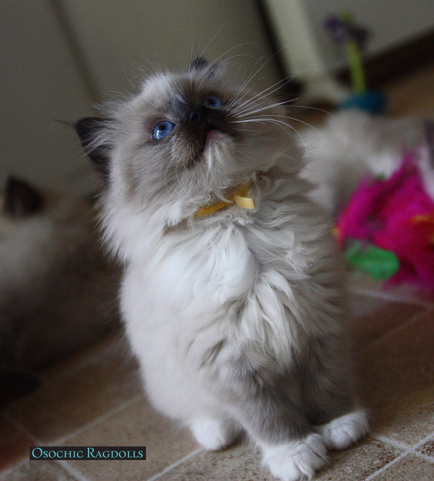Ragdoll Kittens for sale in Devon http://osochicragdolls.co.uk