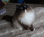RAGDOLL KITTENS for sale in DEVON from http://osochicragdolls.co.uk .*copyright owned by OSOCHIC RAGDOLLS