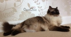 Ragdoll kittens for sale in Devon,Ragdoll breeder in Devon,Ragdoll kittens in Devon. osochicragdolls.co.uk