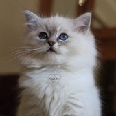 Ragdoll breeder in Devon, Ragdoll kittens in Devon, SouthWest England. osochicragdolls.co.uk