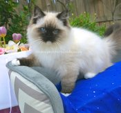 Ragdoll Kittens for sale in Devon. Imperial Grand Champion sired, Ragdoll kittens in Devon.