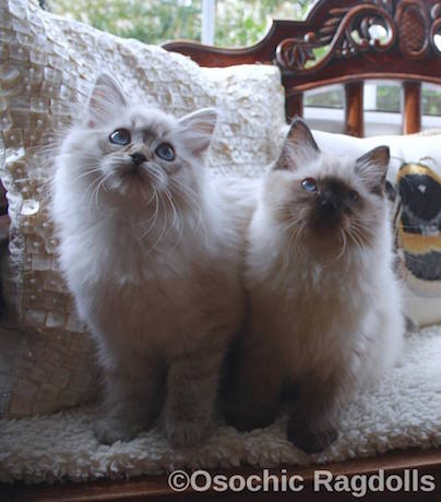 Ragdoll kittens in Devon http://osochicragdolls.co.uk