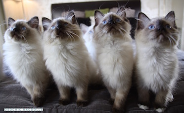 Ragdoll Breeder in Devon http://osochicragdolls.co.uk