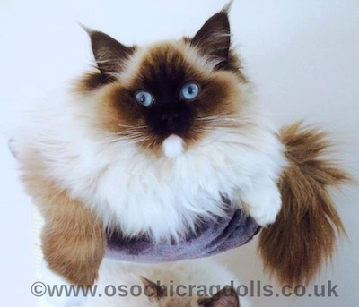 RAGDOLL KITTENS for sale in DEVON http://osochicragdolls.co.uk/index.html *copyright owned by OSOCHIC RAGDOLLS