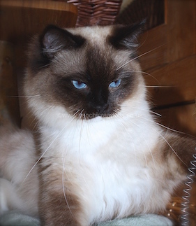 Ragdoll Kittens in Devon. http://osochicragdolls.co.uk RAGDOLL KITTENS for sale in DEVON