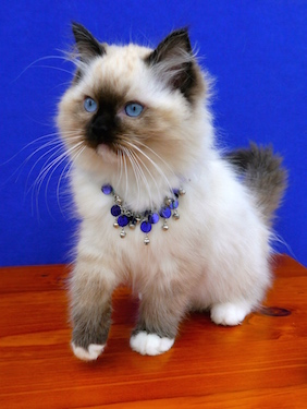RAGDOLL KITTENS for sale in DEVON. *copyright owned by OSOCHIC RAGDOLLS.  http://osochicragdolls.co.uk