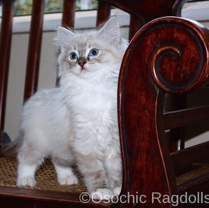 Ragdoll kittens for sale in Devon. Ragdoll breeder in Devon. Ragdoll kittens in Devon. osochicragdolls.co.uk