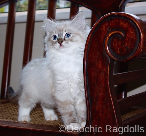OSOCHIC RAGDOLLS. Ragdoll Kittens in Devon. http://osochicragdolls.co.uk ragdoll cats devon. Ragdoll Cat Breeder Newton Abbot, Devon. RAGDOLL KITTENS for sale in DEVON.