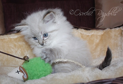 Ragdoll Kittens Devon. Ragdoll Breeder in Devon. Osochic Ragdolls osochicragdolls.co.uk