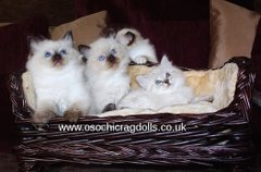 Ragdoll breeder in Newton Abbot Devon. Ragdoll kittens Devon. http://osochicragdolls.co.uk