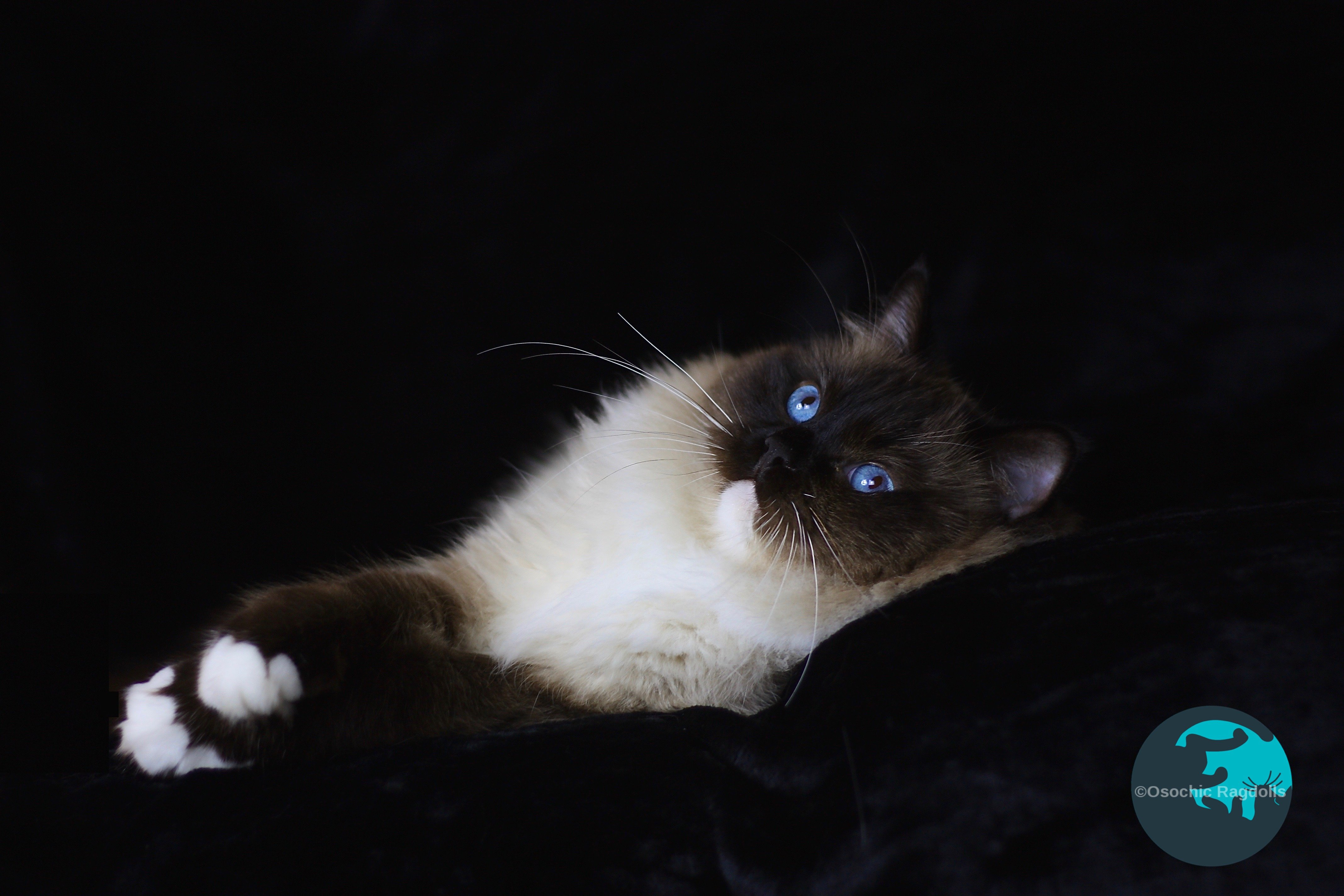 Ragdoll breeder in Devon. osochicragdolls.co.uk