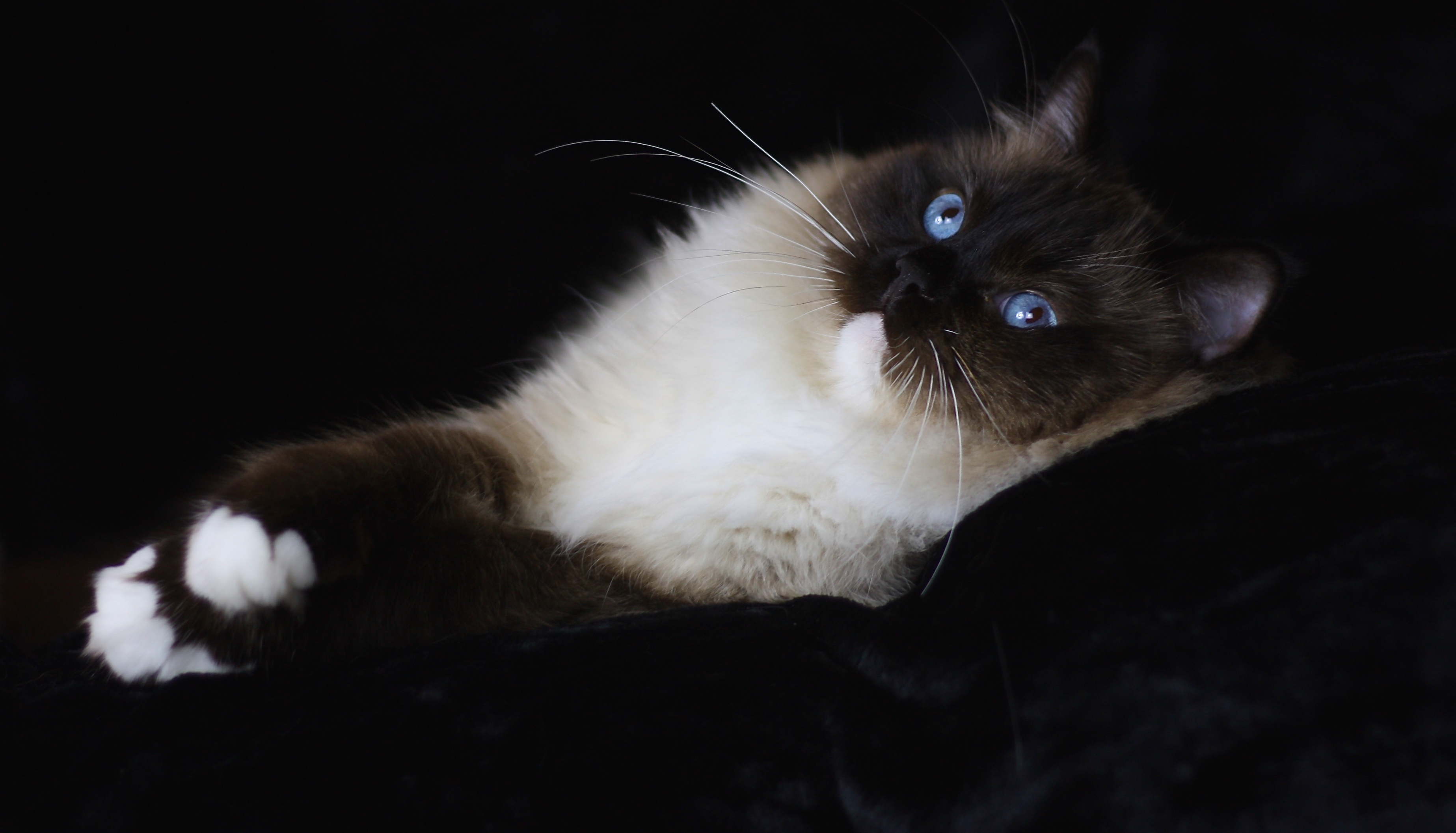 RAGDOLL KITTENS for sale in DEVON http://osochicragdolls.co.uk .*copyright owned by OSOCHIC RAGDOLLS