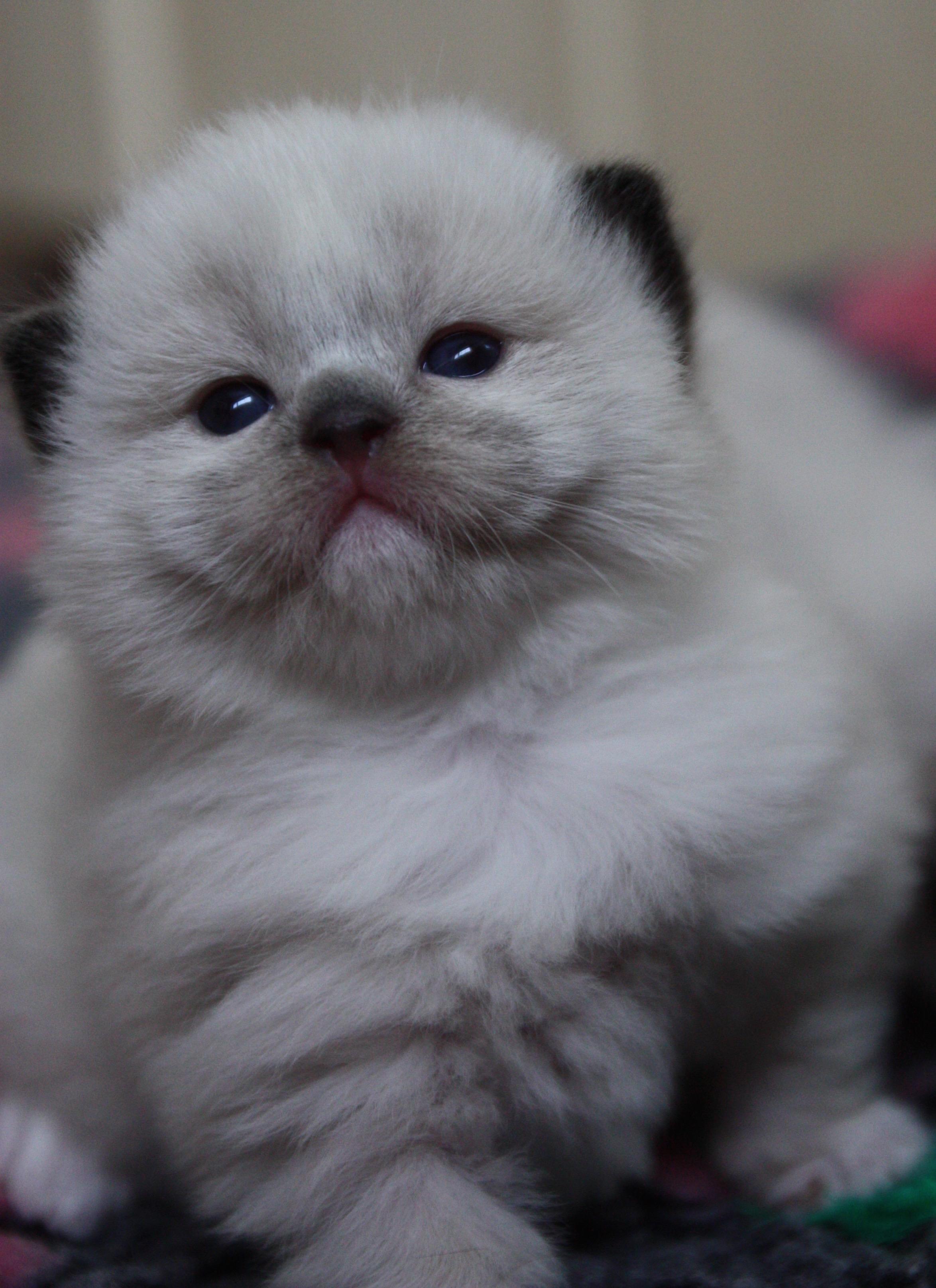 OsoChic Ragdolls GCCF Show Quality Ragdoll Cats Registered