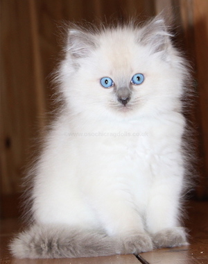 Ragdoll kittens for sale Ragdoll cats for sale and - oukas info